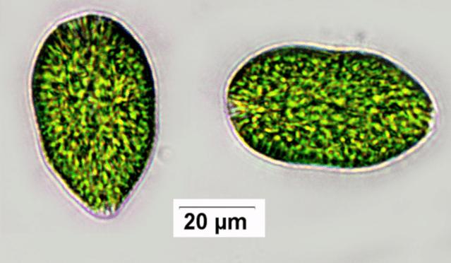 Tyresån växtplankton 2020